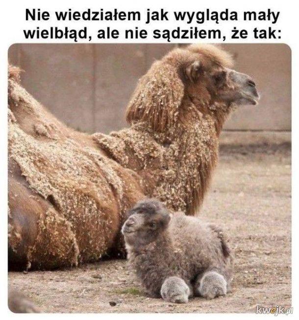 Mały wielbłąd