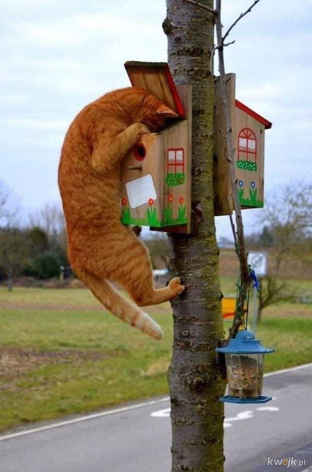 Koty zachowujące się, jak koty