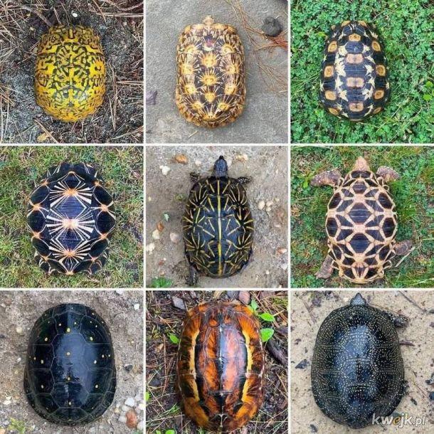 Żółwie karapaksy