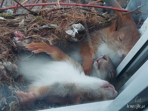 Patrzysz przez okno, a tam śpiulka wiewiórcza rodzina