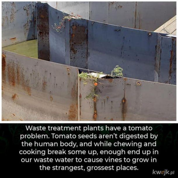 Pomidorki koktajlowe.