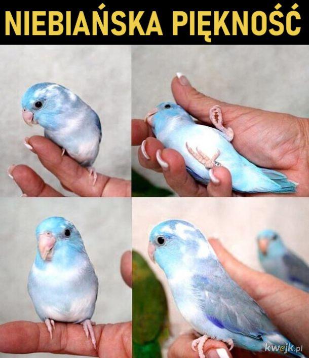 Papuga, która wygląda jak kawałek nieba