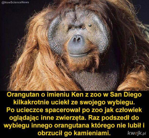 Orangutan śmieszek
