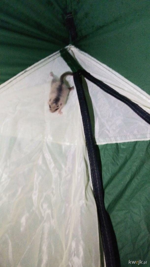 Patrzcie kto zagościł w moim namiocie