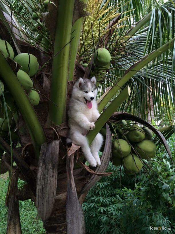 Huskieł utknął na drzewie. Internet nie zawiódł