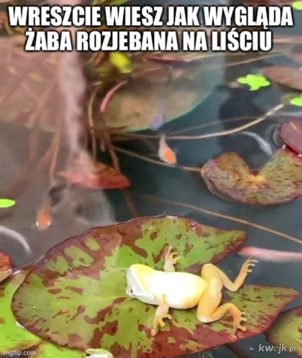 Chillująca żaba