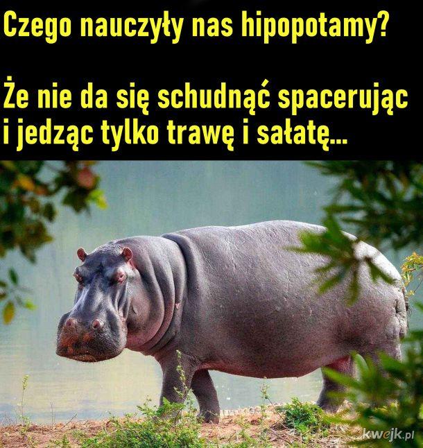Czego nauczyły nas hipopotamy?