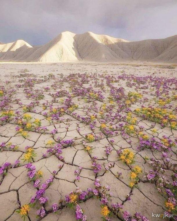 Kwitnąca pustynia