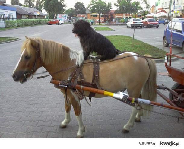 Pies na koniu