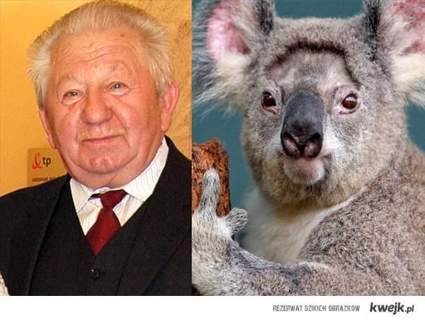 Gucwiński koala