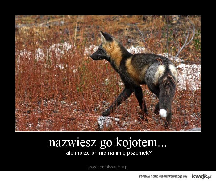 Nazwiesz go kojotem