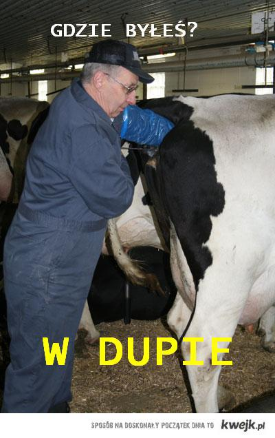 gdzie byłeś w dupie zapłodnienie krowa insemination