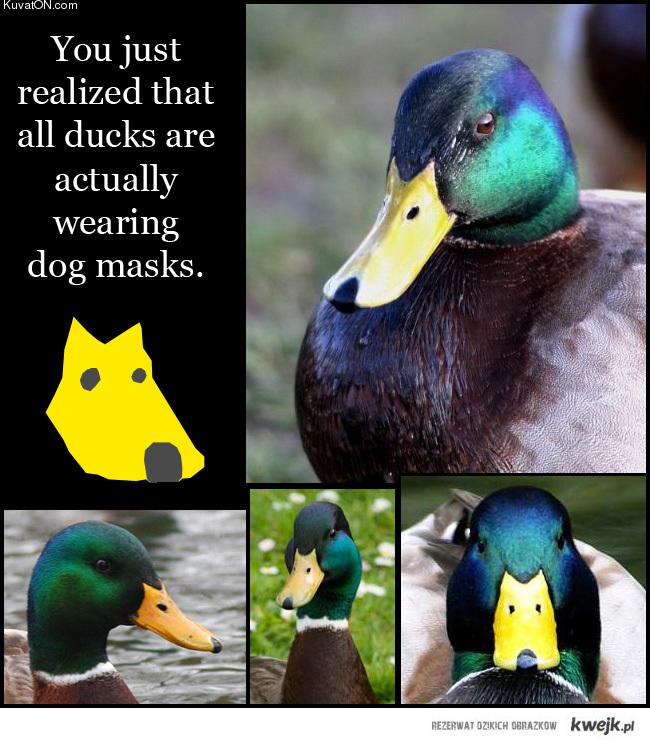 Pies na dziobie kaczki