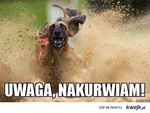 Uwaga, nakurwiam - pies