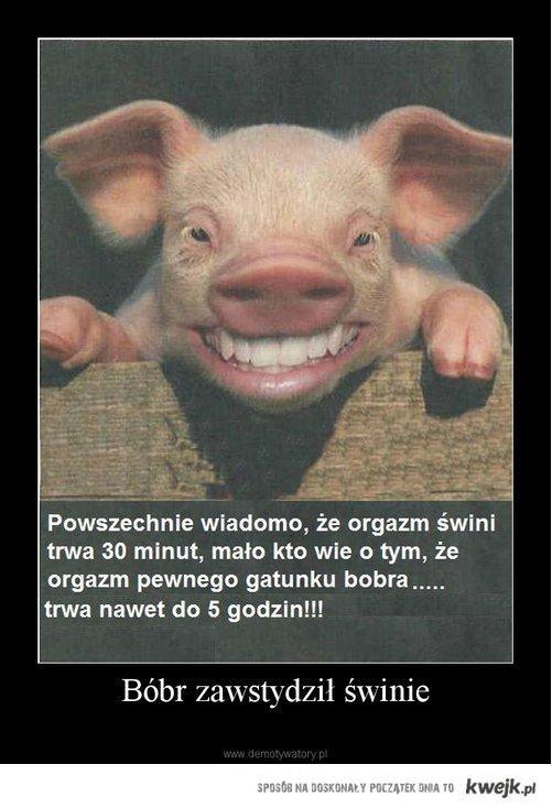 Bóbr zawstydził świnię