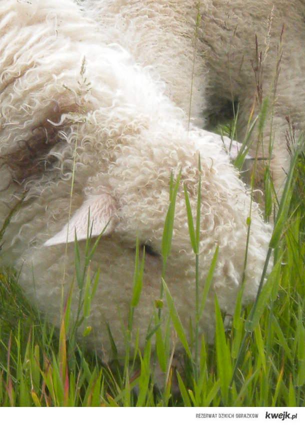 zajefajna owieczka