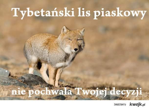 Tybetanski lis piaskowy nie pochwala twojej deczyji