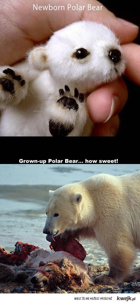 Miś polarny