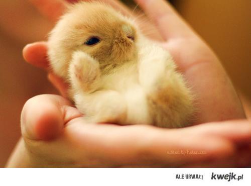 królik