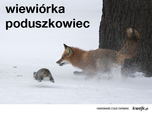 wiewiórka poduszkowiec