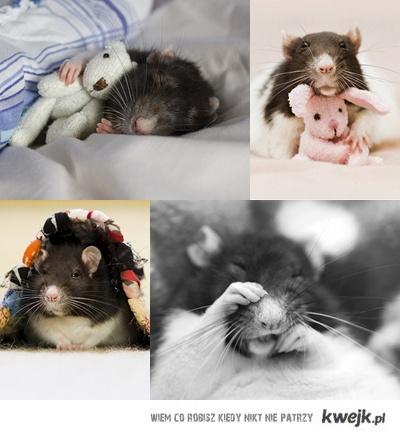 szczurasy2