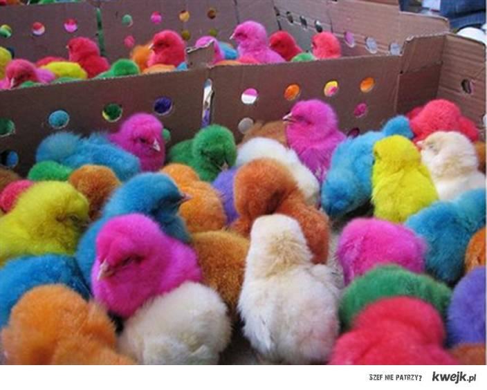 kurczaki z pisanki