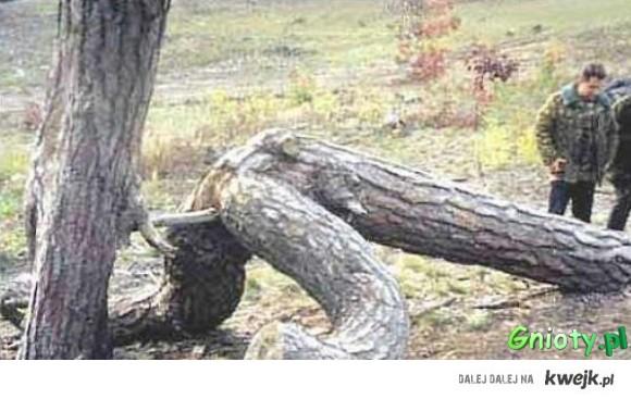 drzewkowa ochota