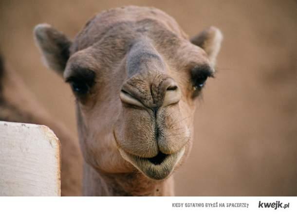 Wielbłąd <3