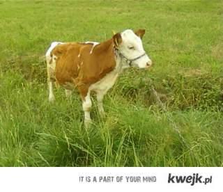 krowy sa mega!