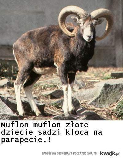 Muflon Muflon...