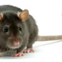 szczur z downem