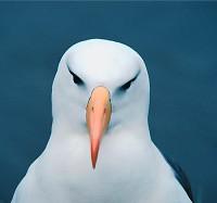 AlbatrosMorski